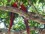 Aras, Costa Rica