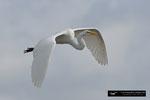 Great White Egret; Boynton Beach; Florida