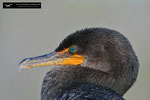 Kormoran / Double-Crested Cormorant; Everglades National Park; Florida