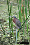 Green Heron; Boynton Beach; Florida