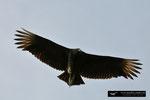 Black Vulture; Everglades National Park; Florida