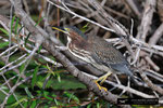 Green Heron; Everglades National Park; Florida