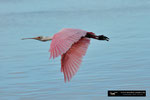 Roseate Spoonbill / Rosa Löffler; Ding Darling National Wildlife Refuge; Sanibel Island; Florida