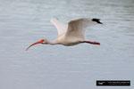 Ibis; Ding Darling National Wildlife Refuge; Sanibel Island; Florida