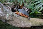Chicken Turtle ???; Boynton Beach; Florida