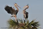 Great Blue Herons; Viera Wetlands; Melbourne; Florida