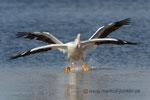 White Pelican / Pelikan; Ding Darling National Wildlife Refuge; Sanibel Island; Florida