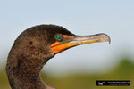 Kormoran/Cormorant; Everglades National Park; Florida