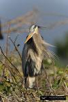 Great Blue Heron; Boynton Beach; Florida