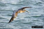 Brown Pelican; Fort Myers Beach, Florida