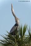Great Blue Heron; Viera Wetlands; Melbourne; Florida