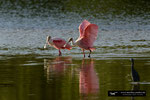 Roseate Spoonbill; Ding Darling National Wildlife Refuge; Sanibel Island; Florida