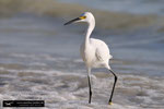 Snowy Egret/Egretta thula; Fort Myers Beach, Florida