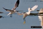 Snowy Egret; Ding Darling National Wildlife Refuge; Sanibel Island; Florida