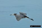 Little Blue Heron; Ding Darling National Wildlife Refuge; Sanibel Island; Florida