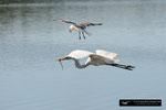Great White Egret; Ding Darling National Wildlife Refuge; Sanibel Island; Florida