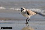 Sanderling; Fort Myers Beach; Florida