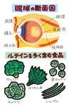 眼球の断面図 ルテイン