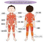 大きな筋肉組織 大胸筋 腹直筋 腹斜筋 大腿四頭筋 僧帽筋 上腕二頭筋