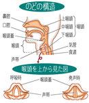 咽喉 のどの構造