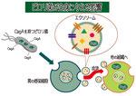ピロリ菌が全身に与える影響 エクソソーム