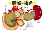 膵臓 構造