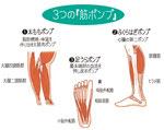 脚の筋ポンプ