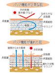 バリア機能が正常な肌 壊れた肌