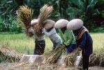 Rice harvest, Vietnam