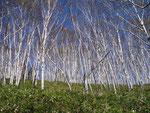 白雲山のダケカンバ林
