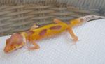 Tangerine Bell Albino kurz nach dem Schlupf