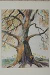 Alte Buche     Bildgrösse 83 x 61  cm