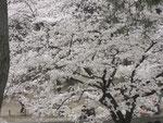 夙川の桜の写真⑥