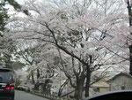 夙川の桜の写真④