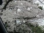夙川の桜の写真③