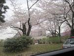 夙川の桜の写真②