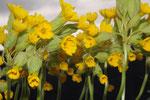 Primula veris ( Frühlings-Schlüsselblume)