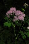 Thalictrum aquilegifolium ( Akeleiblättrige Wiesenraute)