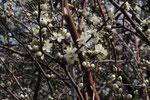 Prunus spinosa ( Schwarzdorn)