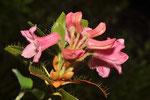 Rhododendron hirsuta ( Bewimperte Alpenrose)