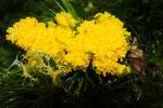 Gelbes Pilzgewächs