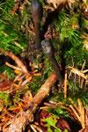 Zungen-Kernkäule wächst auf Hirschtrüffel