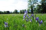 Iris sibirica ( Sibirische Schwertlilie)