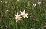 Narcissus radiiflorus  ( Weisse Berg-Narzisse)