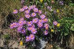 Aster alpinus ( Alpenaster)