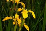 Iris pseudacorus ( Gelbe Schwertlilie)