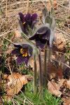 Pulsatilla montana ( Berg-Anemone)
