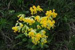 Primula veris ( Frühlngsschlüsselblume)