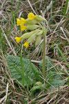 Primula veris ( Frühlings Schlüsselblume)