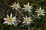 Leonthopodium alpinus ( Edelweiss)
